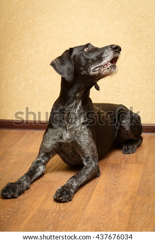 German Wirehaired dog - stock photo