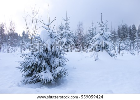 Germans forest in winter with a lot of snow