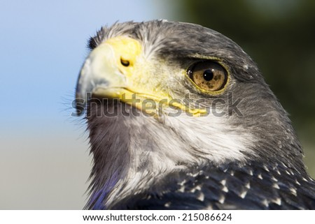 Germany, Hellenthal, Black-chested buzzard eagle