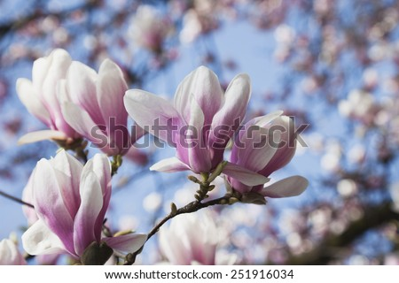 Germany, Pink magnolia blossoms