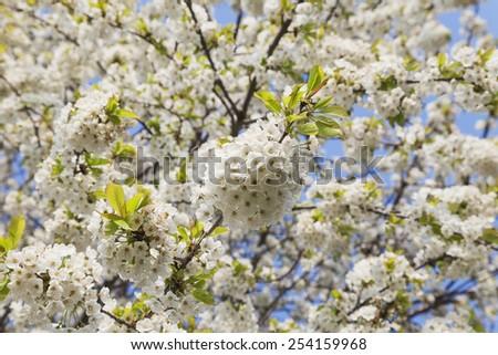 Germany, Rhineland-Palatinate, Cherry tree, white cherry blossoms - stock photo
