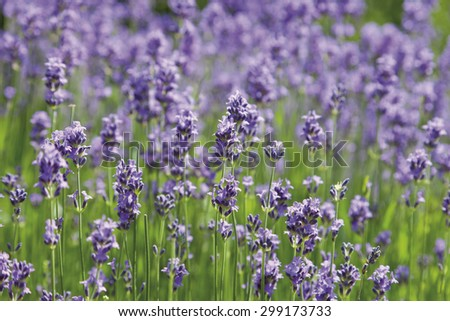 Germany,View of lavender flowers