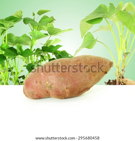 Germinated growing sweet  potato with shoots on green background - stock photo