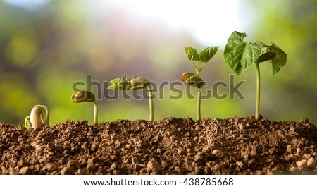 germinated seeds sequence and growth of bean plants - stock photo