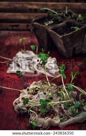 germinated spring planting the sprouts of agricultural plants - stock photo