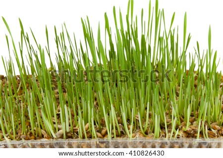 germinated wheat sprouts isolated on white background - stock photo
