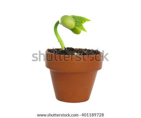 germinating bean on white background - stock photo