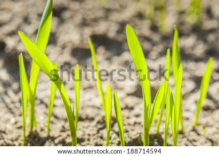 Germinating grain, young plants in the background of plowed soil.  - stock photo
