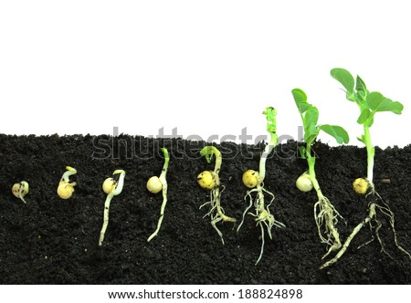 Germination pea sprout in soil - stock photo
