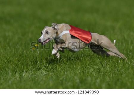 Geyhound lure coursing - stock photo