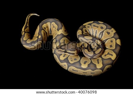 Ghost ball python (Python regius) isolated on black background.