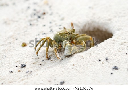 Ghost crab close to its refuge - stock photo