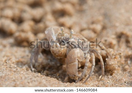 Ghost crab is on the beach in Thailand
