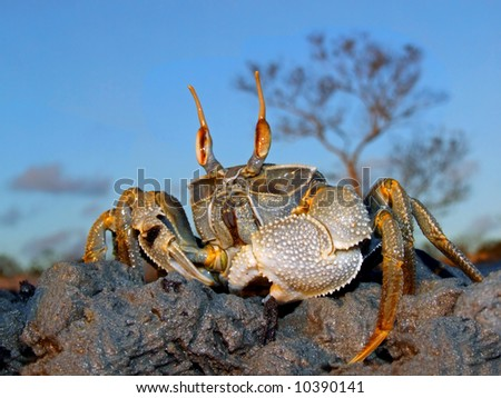 Ghost crab (Ocypode spp.) on coastal rocks, Mozambique, southern Africa - stock photo