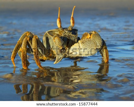 Ghost crab (Ocypode spp.) on the beach, Mozambique, southern Africa - stock photo
