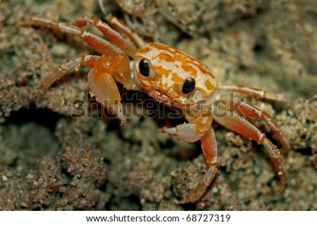 Ghost crabs, also called sand crabs, are crabs of the genus Ocypode, common shore crabs in many countries. Ghost crabs dominate sandy shores in tropical and subtropical areas.
