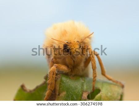 Ghost moth, Hepialus humuli - stock photo