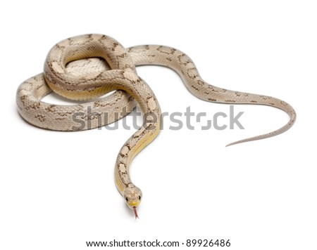 Ghost mothley Corn Snake or Red Rat Snake, Pantherophis guttatus, in front of white background - stock photo