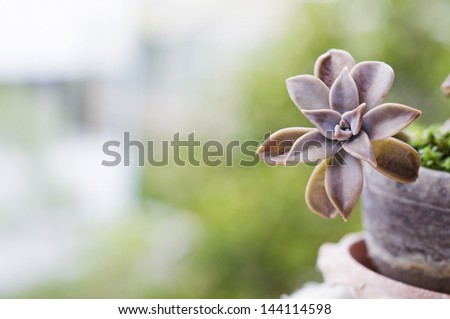 ghost plant the succulent flora is planted in the pot for home decoration - stock photo