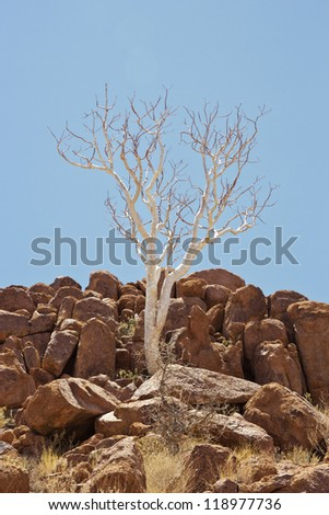 Ghost tree grows between rocks in Twyfelfontein Namibia