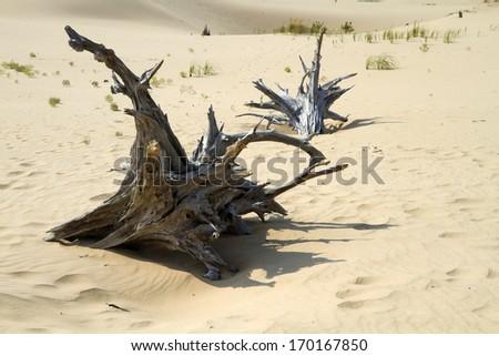 Ghost Valley -- Silver Lake Sand Dunes contains many uprooted tree trunks as part of the dunes ghost forest. Silver Lake State Park, Michigan, USA. - stock photo
