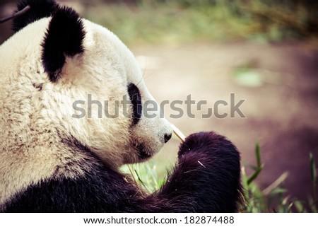 Giand panda bear eating bamboo  - stock photo
