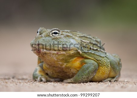 Giant African Bullfrog (Pyxicephalus adspersus), South Africa