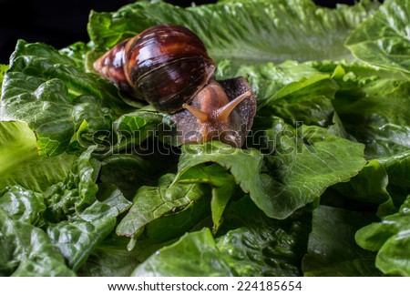 Giant african land snail eating - photo#51