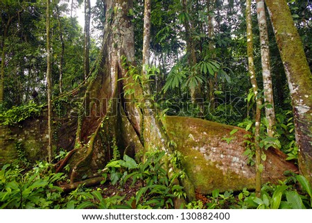 Giant Amazonian tree with particularly large buttress roots, Ecuador - stock photo