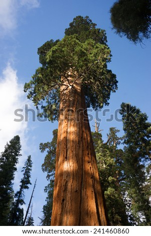 Giant Ancient Seqouia Tree Kings Canyon National Park - stock photo