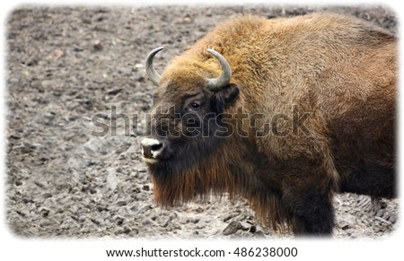 Giant animals. Wildlife of Natural Reserve. Amazing photo of a huge powerful bison. Wonderful big animals close up. Wild nature in National Parks. Bison is a symbol of strength, courage, leadership.