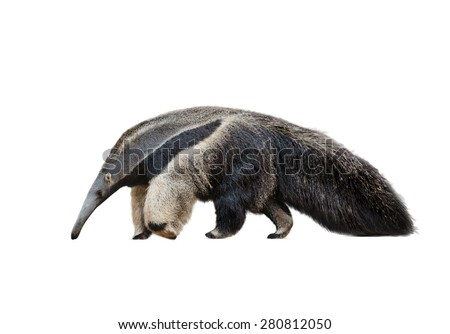 Giant ant-eater male walking isolated over a white - stock photo