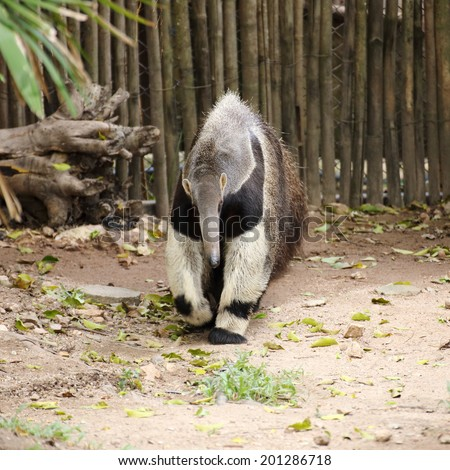 giant ant eater walking looking something