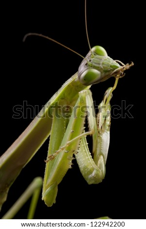 Giant Asian Praying Mantis (Hierodula membranacea) isolated on black background.