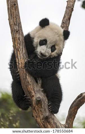 Giant Baby Panda Climbing on a Tree - stock photo