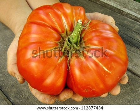giant beef tomato in farmer hands - stock photo