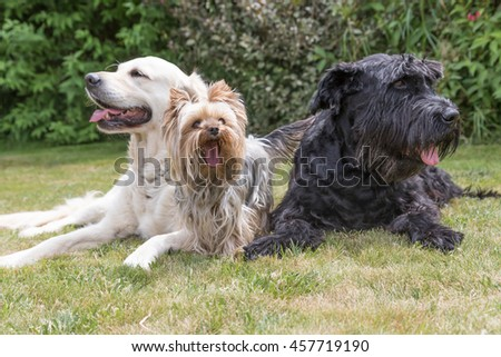 Giant Black Schnauzer, Yorkshire Terrier and Golden Retriever dogs are lying on the lawn