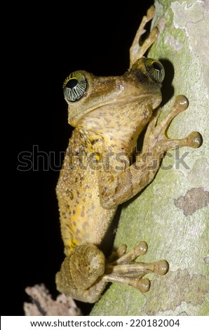 Giant broad-headed tree frog (Osteocephalus taurinus) in the Peruvian Amazon Rainforest.