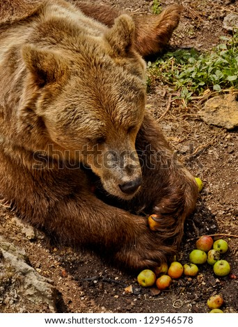 Giant brown bear (Ursus arctos) - omnivore animal, collecting apples for its summer meal. - stock photo
