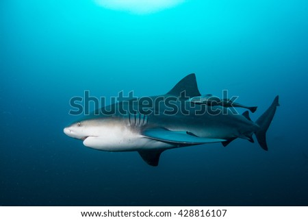 giant bull shark / Zambezi Shark swimming in deep blue water