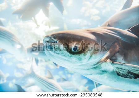 giant catfish in freshwater Thailand - stock photo
