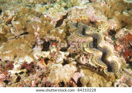 giant clam - stock photo
