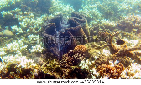 Giant clam on Great Barrier reef