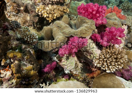 Giant Clam (Tridacna gigas) with soft and other corals on a tropical reef in Ulong Channel off the islands of Palau in Micronesia.