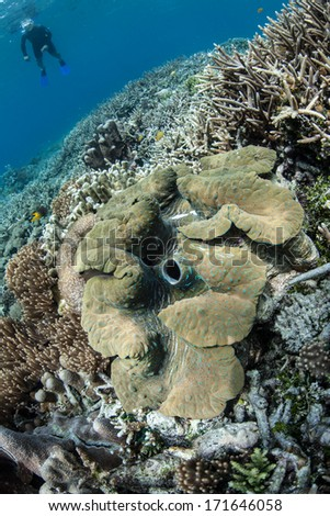 Giant clams (Tridacna gigas) are an endangered mollusk species. Found in the tropical Indo-Pacific region on coral reefs, they are slow growing and easily over-fished. - stock photo