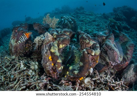 Giant clams (Tridacna gigas) are the the worlds largest bivalve. This is an endangered mollusk species that is native to the tropical Indo-Pacific region. - stock photo