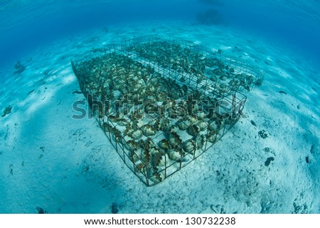 Giant clams (Tridacna sp.) are grown in the shallow, clear waters of Aitutake's lagoon.  This is part of the Cook Islands.  The clams are grown for food and for the aquarium trade. - stock photo