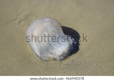 Giant clear jellyfish on a beach in Vietnam