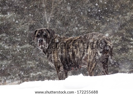 Giant dog playing outside in the snow.