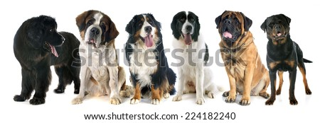 giant dogs in front of white background - stock photo